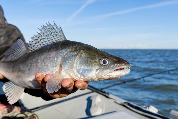 Pêche du sandre